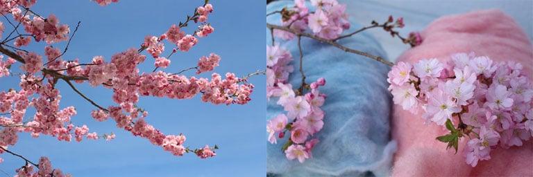 kirschbluete-sakura